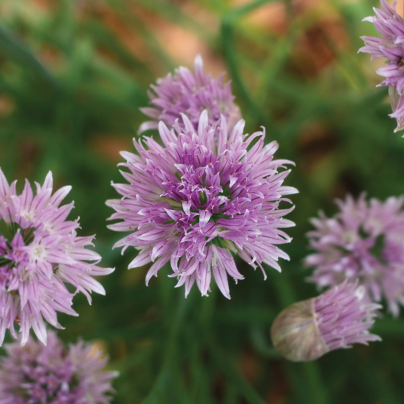 A close-up of a cluster of lavender chive flowers.