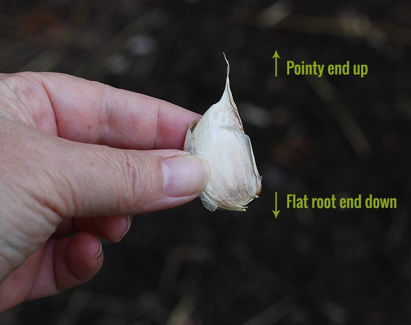 Close up of a garlic clove, showing the root end, which is faces down when planting.