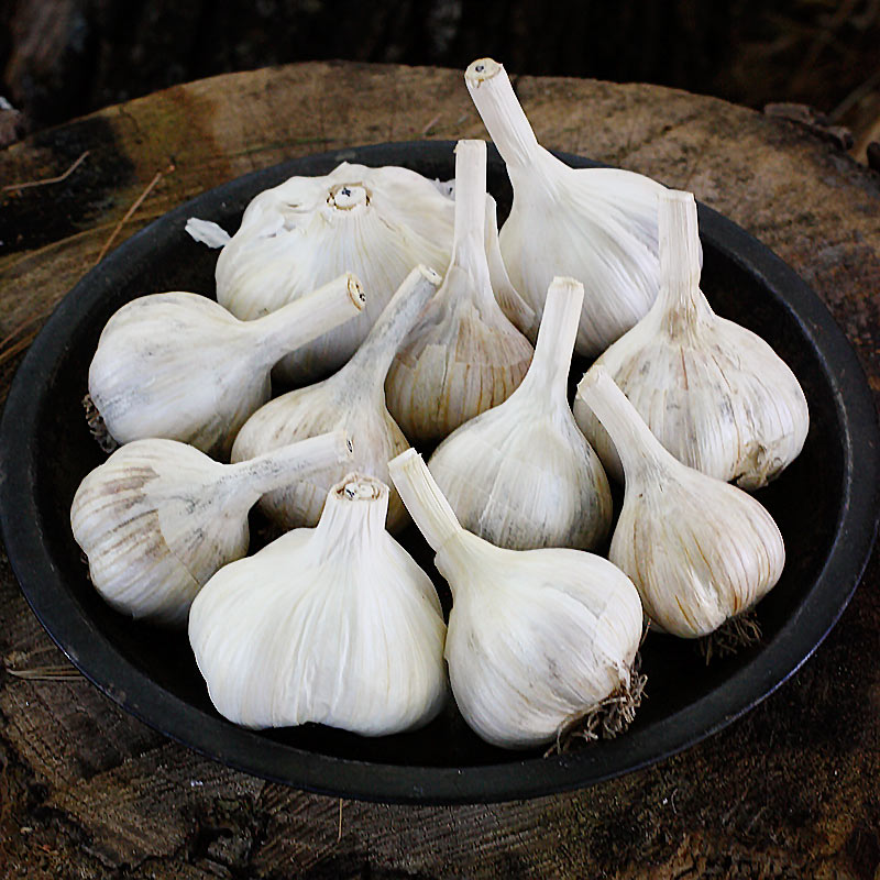 Freshly cured homegrown garlic bulbs, ready for storage and cooking