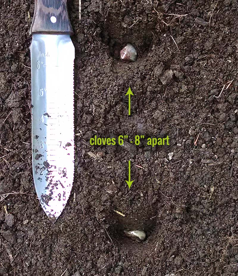 Demonstrating garlic clove spacing between two cloves, with a ruler showing 6""