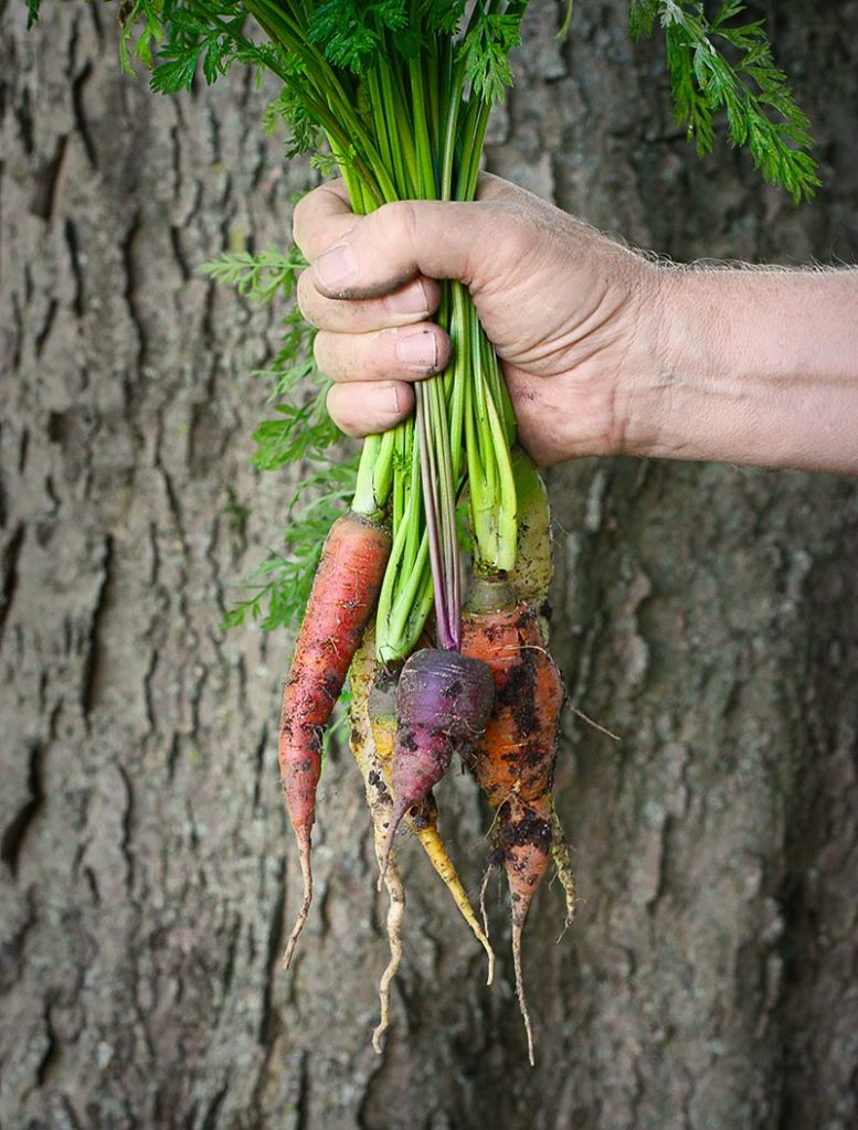 Harvesting rainbow carrots - sweet!