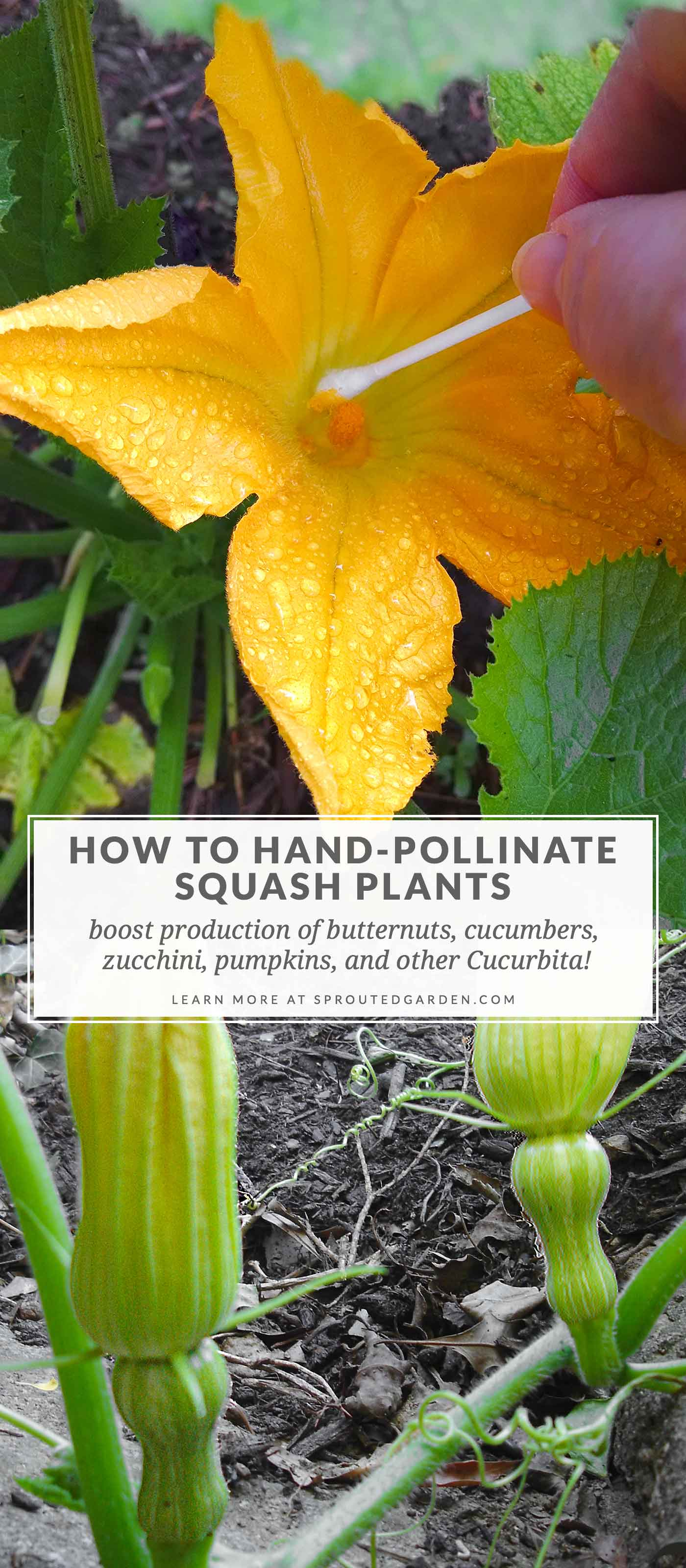 How to hand-pollinate squash plants.
