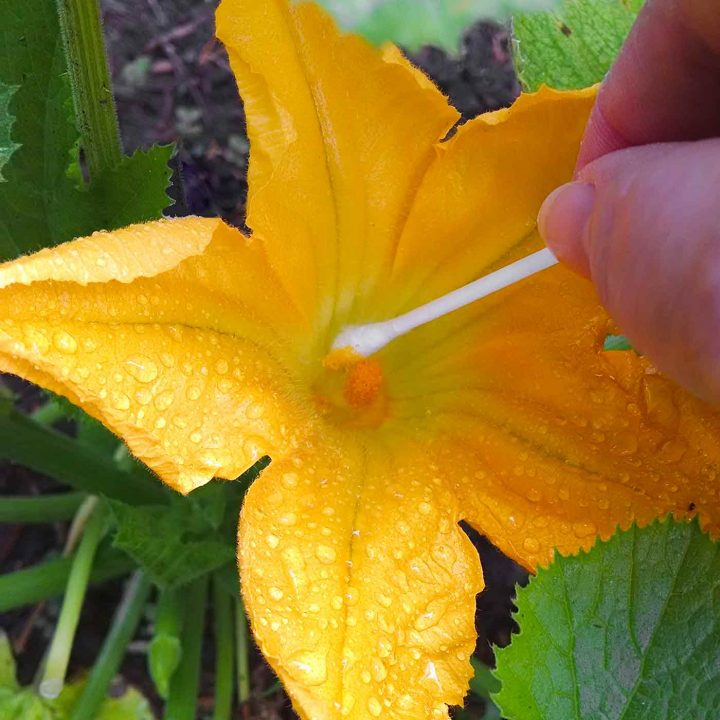 How to Hand-Pollinate Squash