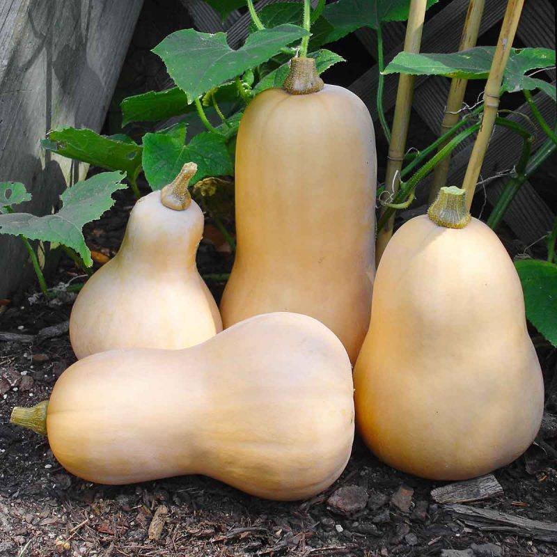 Four freshly harvest butternut squash