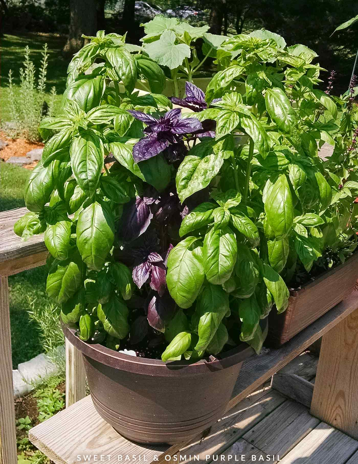 Basil plants growing in a container