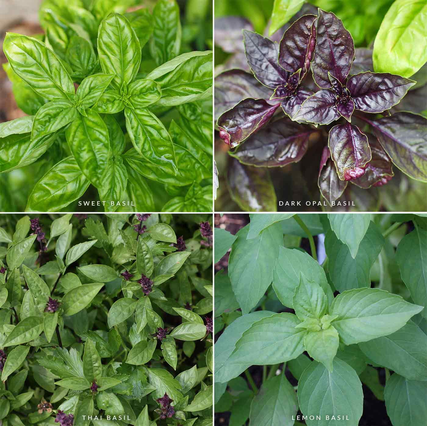 Four types of basil plants, sweet, dark opal, thai, and lemon