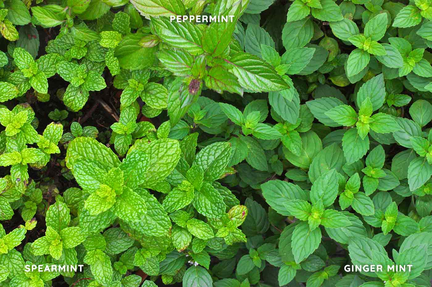Varieties of mint