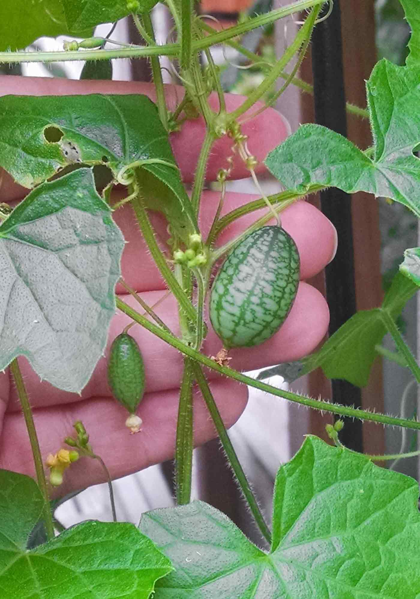 Cucumelons on the vine