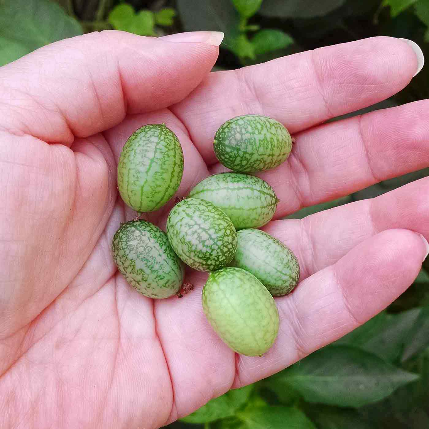 A handful of adorable cucamelons, freshly harvested.