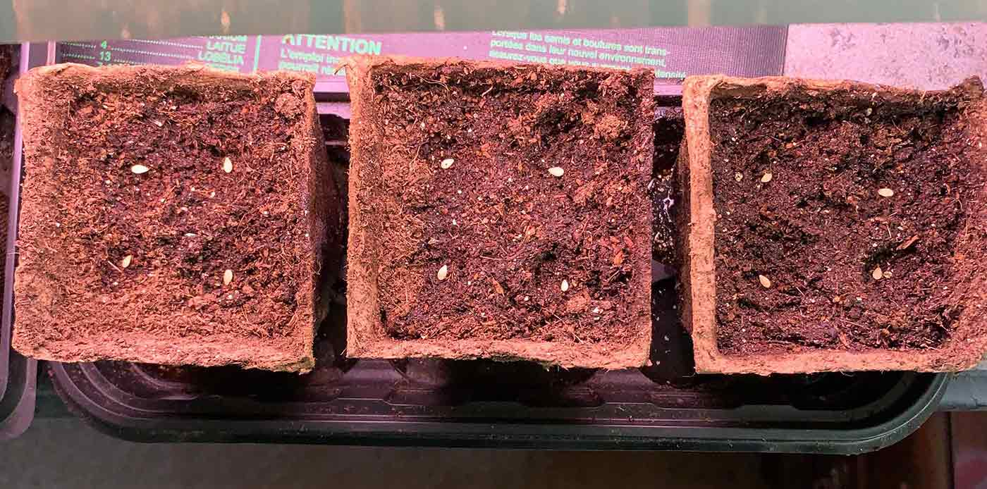 Cucamelon seeds being sown in compostable pots.