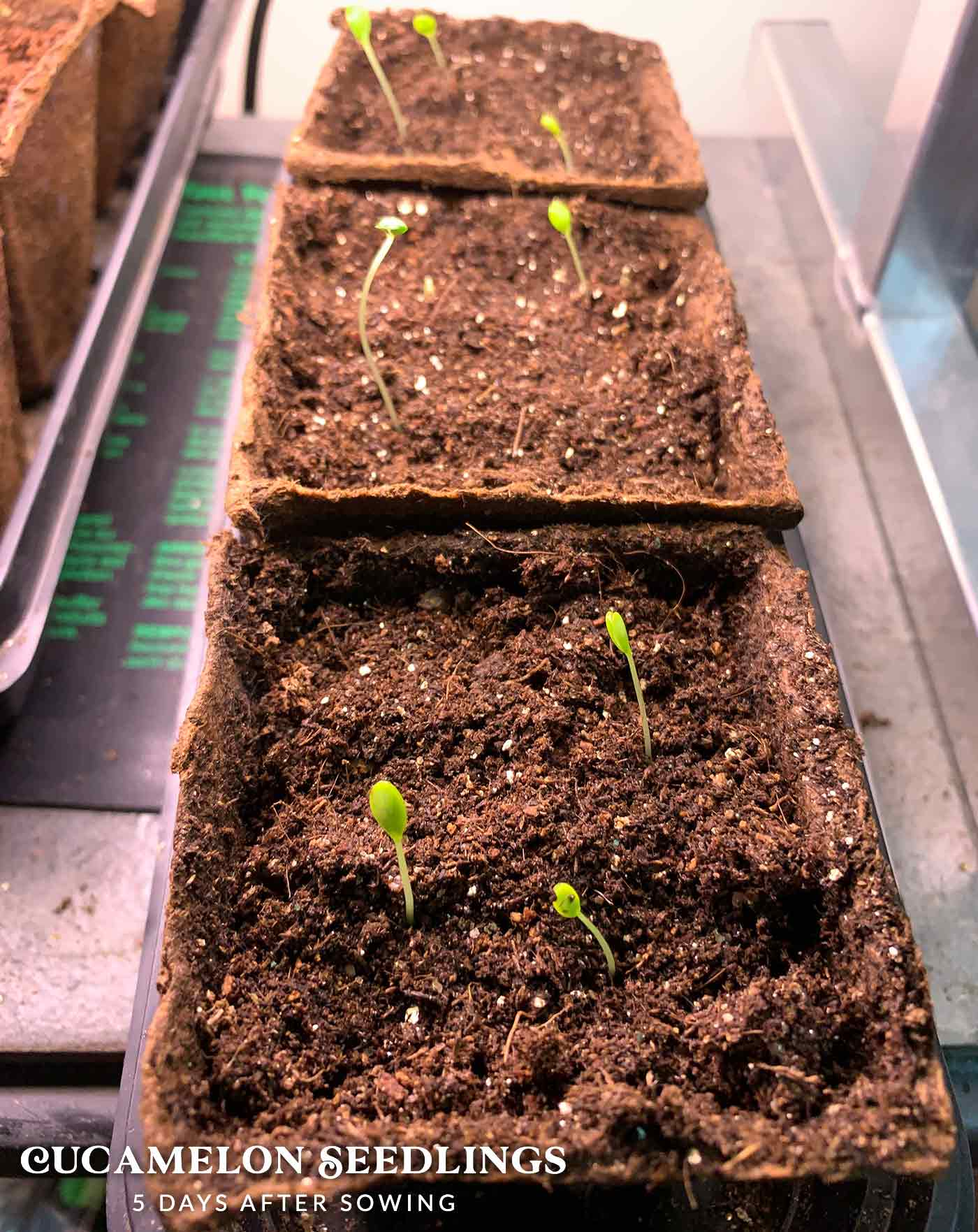 Cucamelon seedlings in compostable pots.