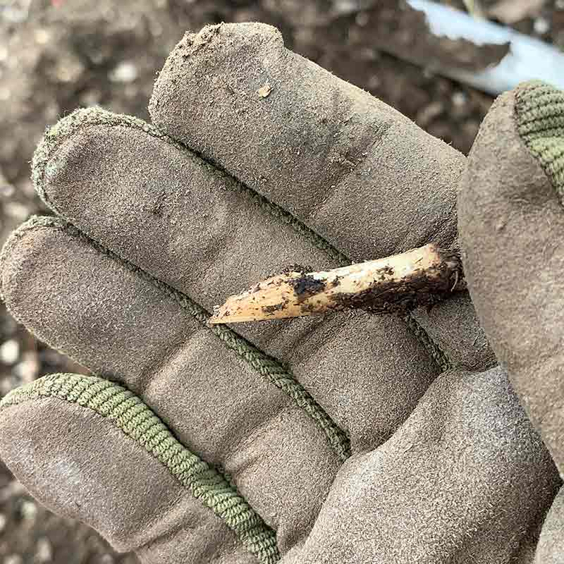 Tip of a thistle's taproot