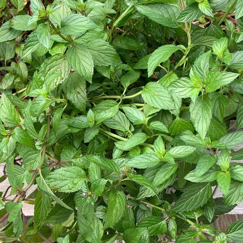 Close-up of the leaves of a peppermint plant
