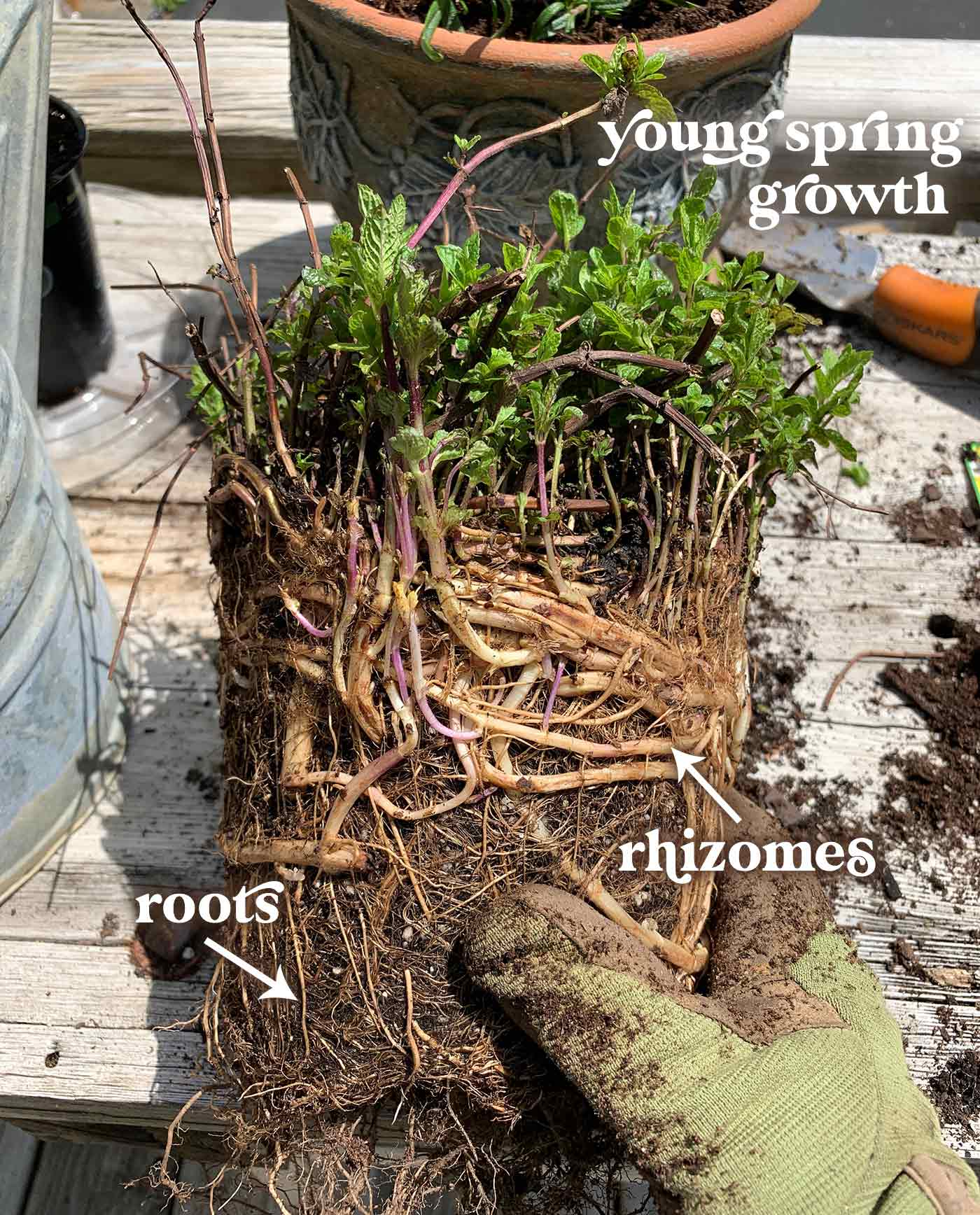 The root system of a one-year-old mint plant, showing the root ball and extensive web of rhizomes.