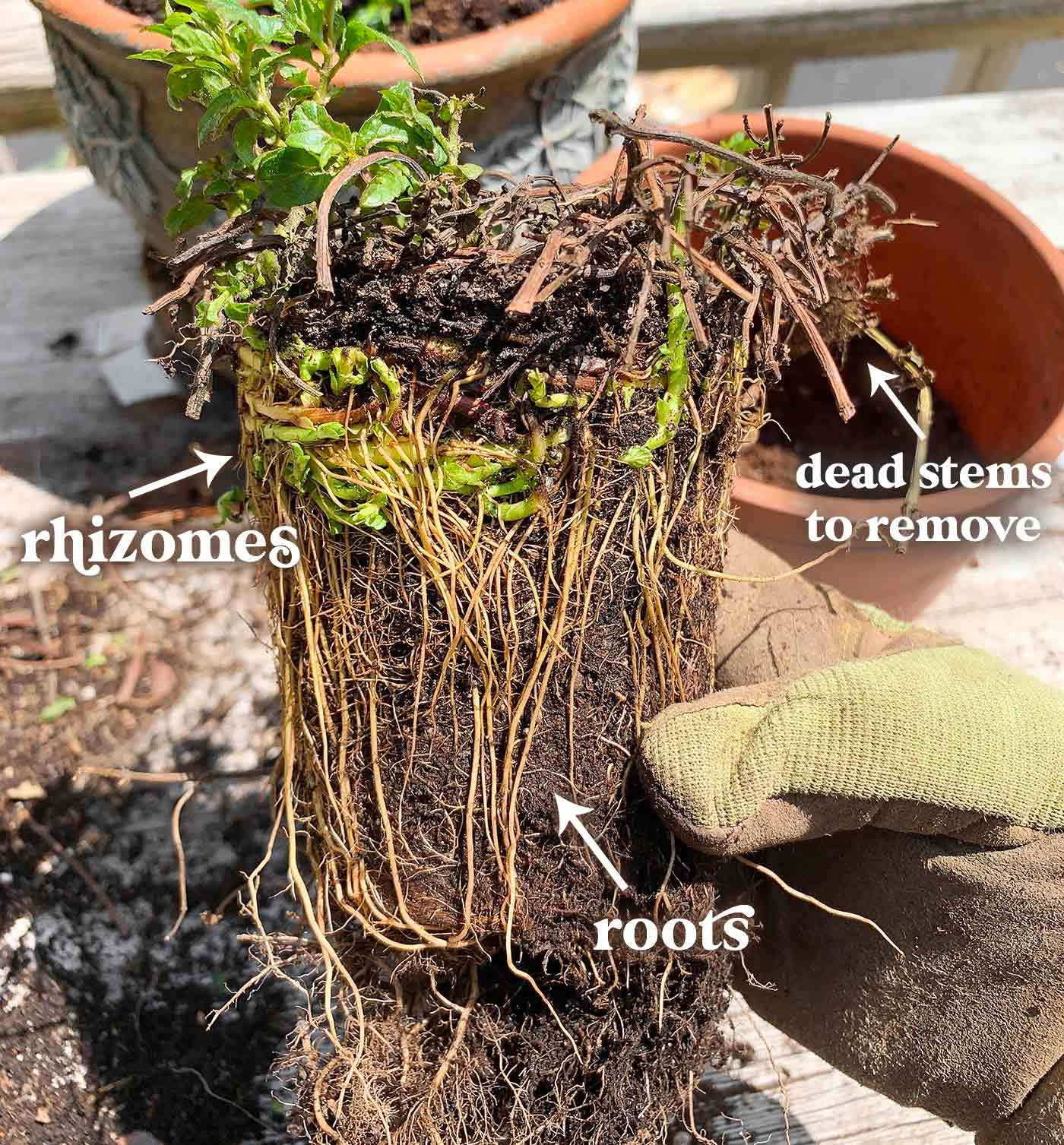 The root system of a healthy ginger mint plant.