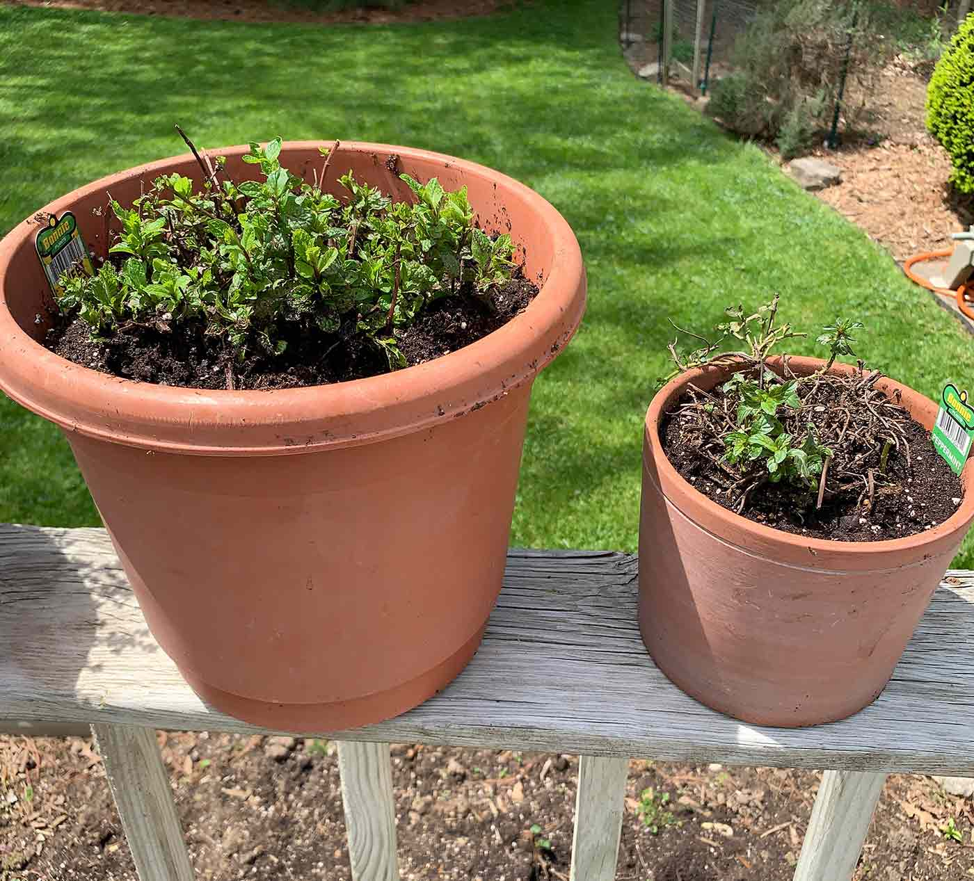Peppermint and Spearmint with new spring growth, freshly repotted into larger pots.
