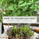 How to Transplant Mint