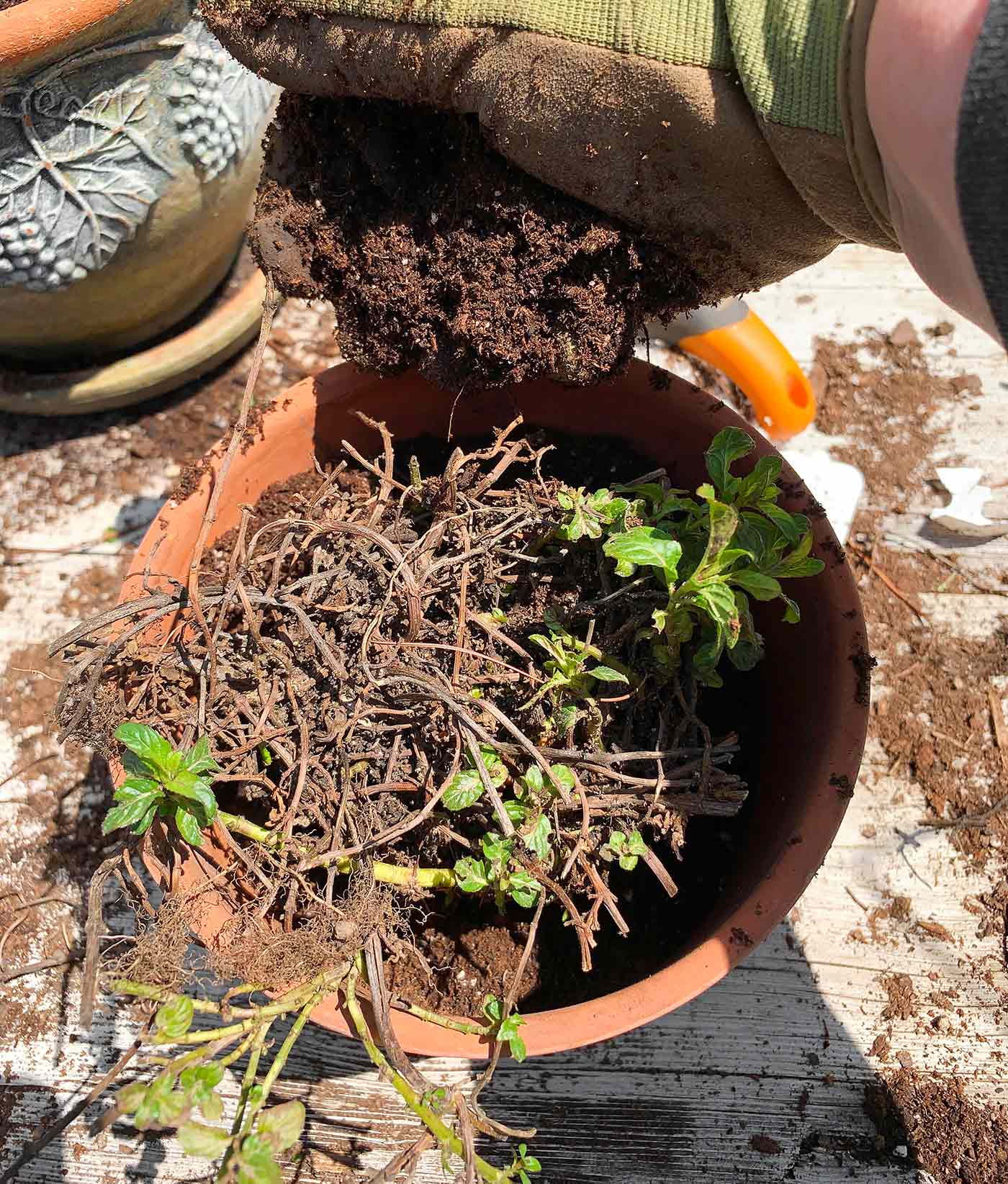 Transplanting mint - adding soil around the edges of the new pot.
