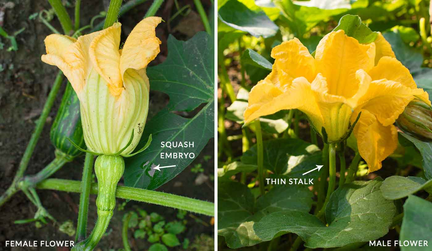 A female squash flower (left), and a male squash flower (right)