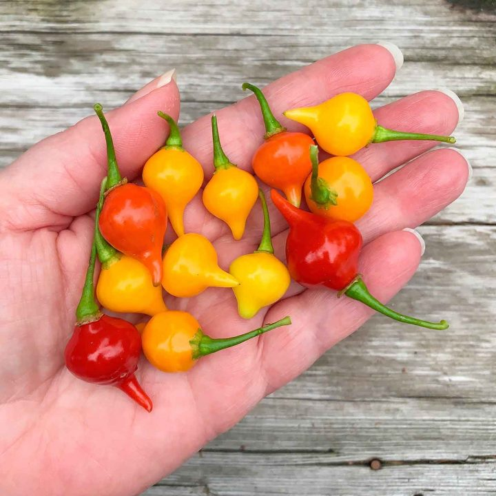 Hand holding yellow and red biquinho peppers