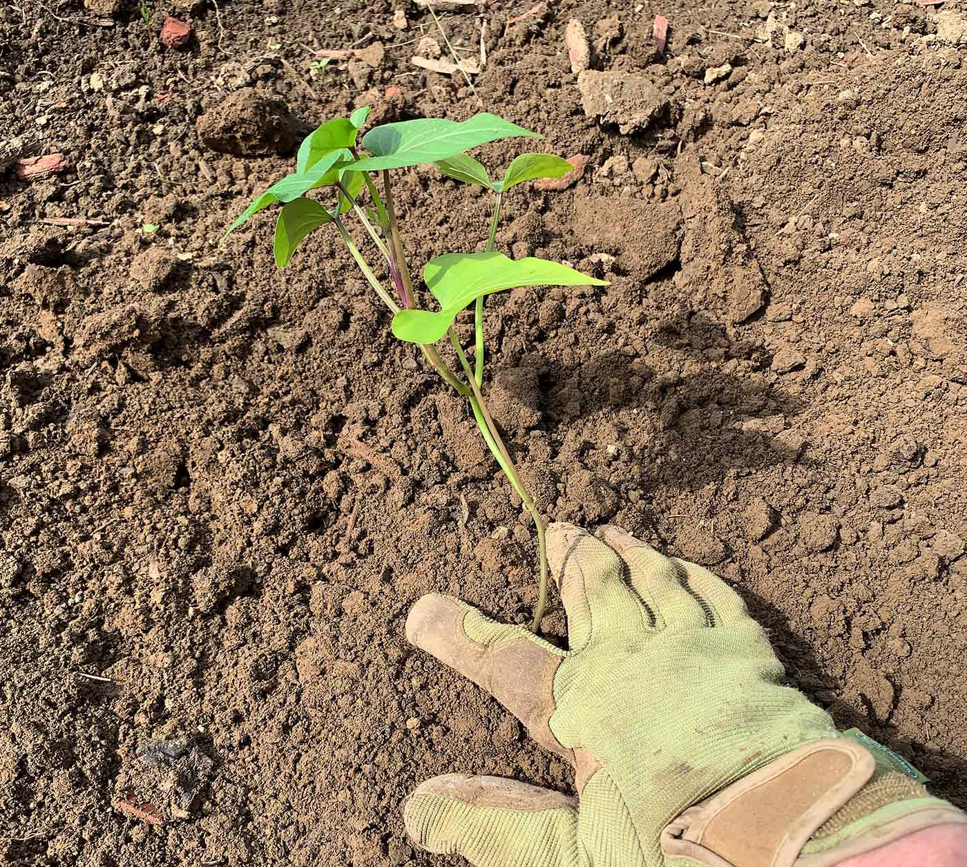 Sweet potato slip planted and ready to grow.