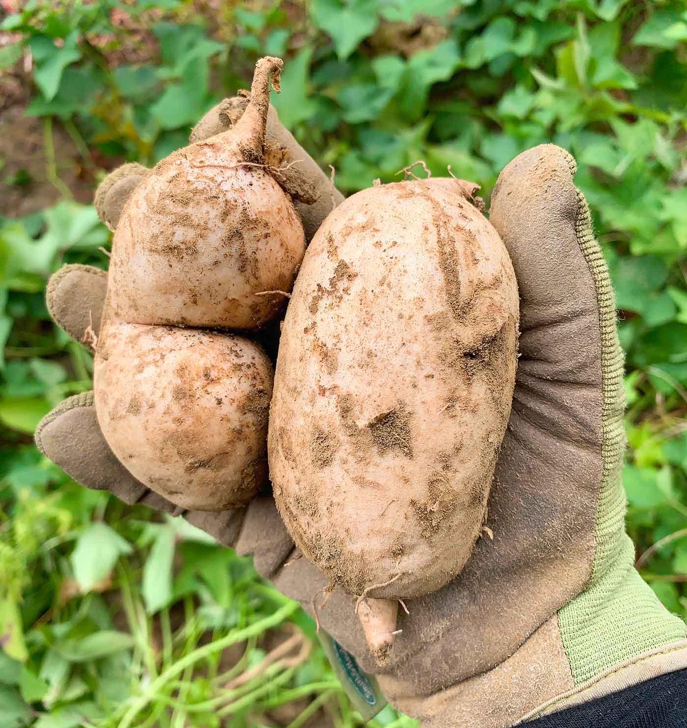 Gloved hand holding two freshly harvested Okinawan Sweet Potatoes.
