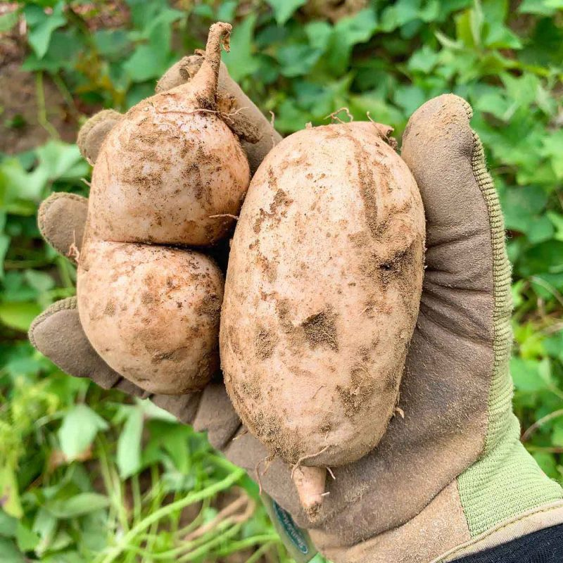 How to Plant & Grow Okinawan Sweet Potatoes