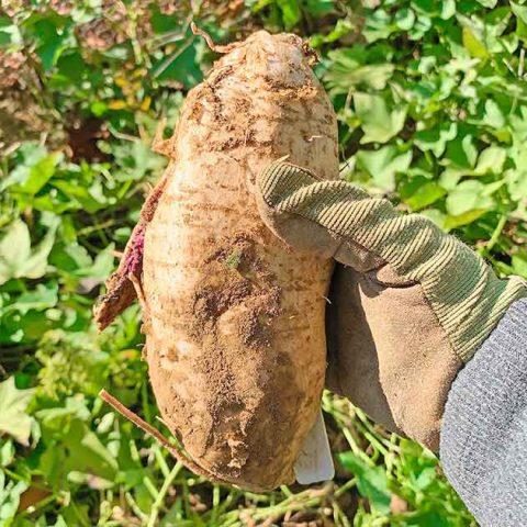 Hand holding freshly harvested Okinawan Purple Sweet Potato