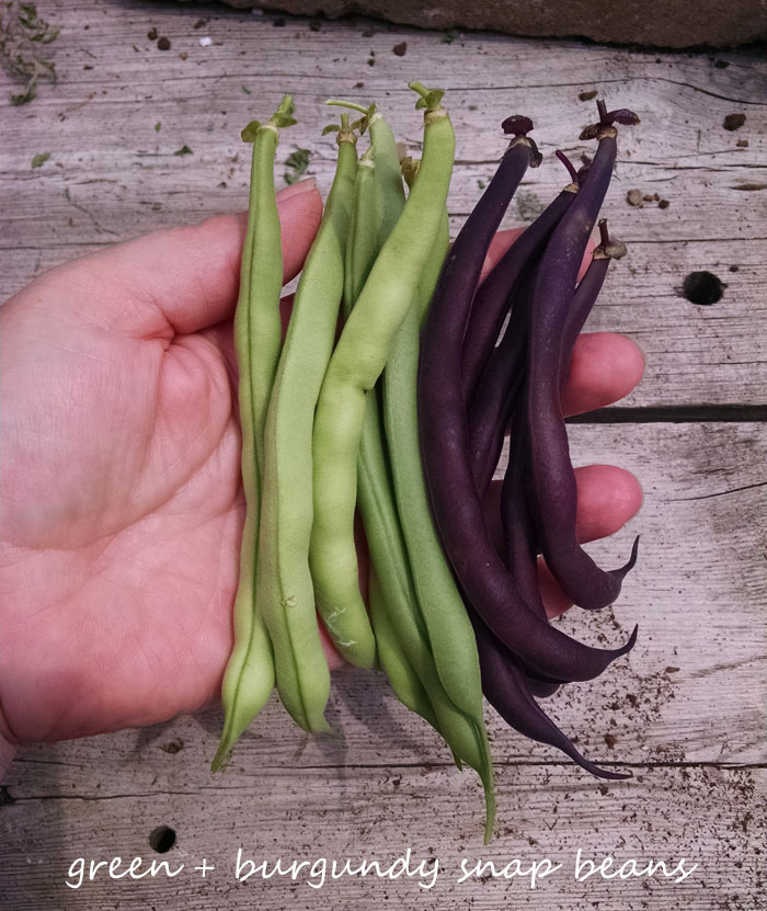 Freshly picked, homegrown snap beans