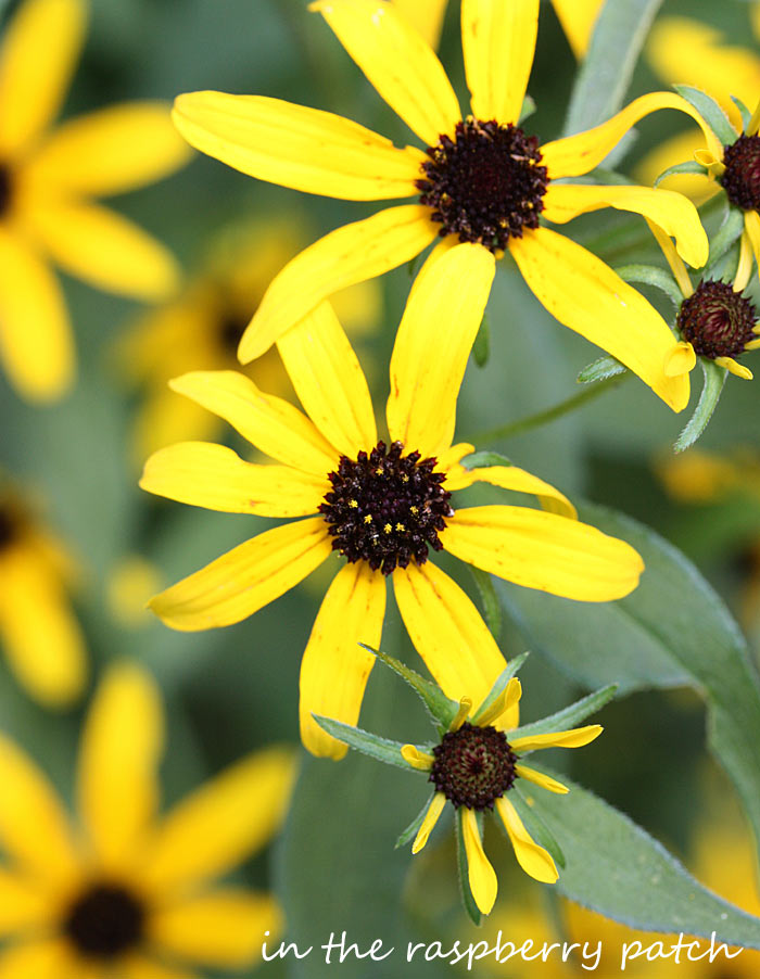 Close up of a Rudbeckia flower