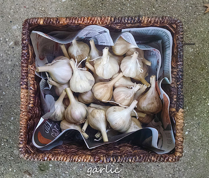 A basket full of newly cured homegrown garlic.