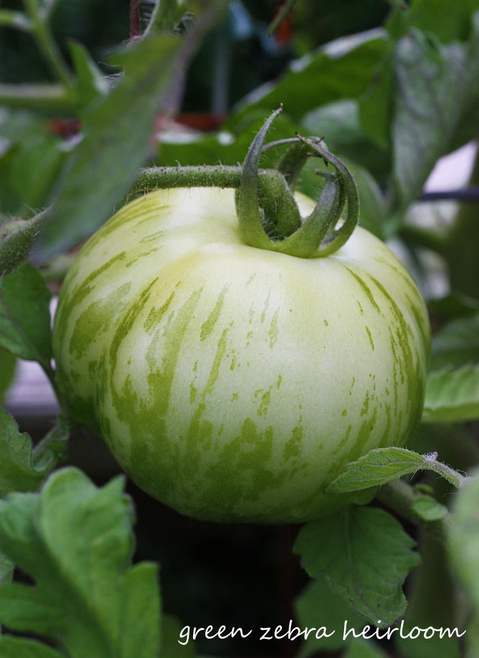 A ripe Green Zebra heirloom tomato on the plant, ready to pick.