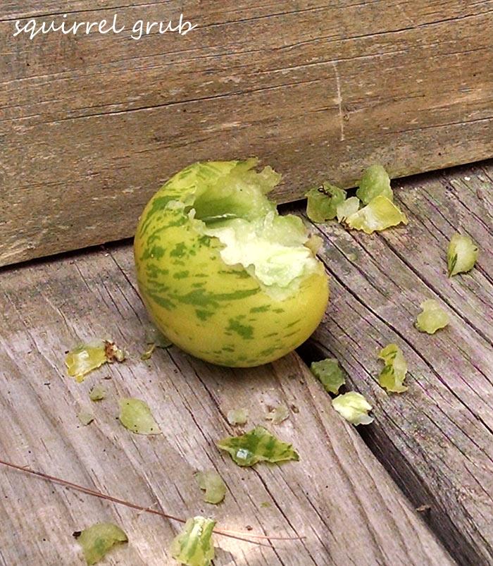 A Green Zebra tomato partially eaten by a squirrel.